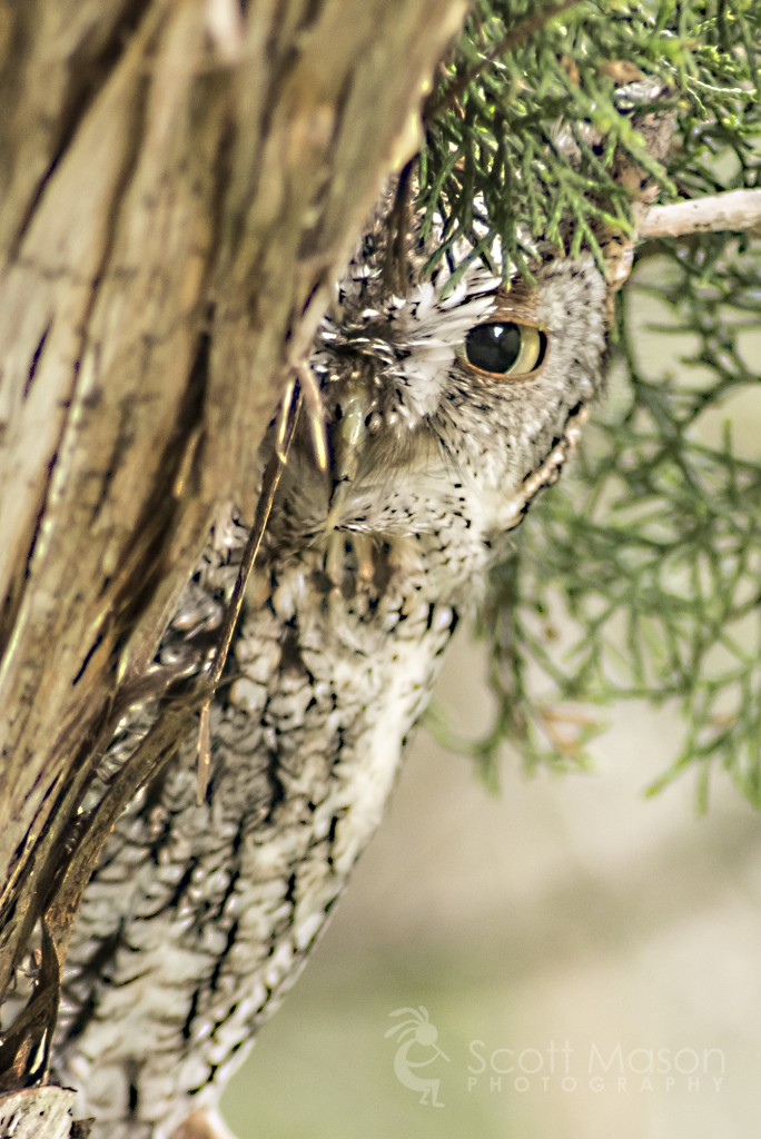 An Eastern Screech Owl peeking out from a tree trunk