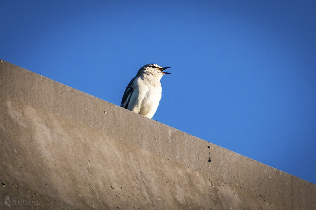 A mockingbird singing atop a chimmney